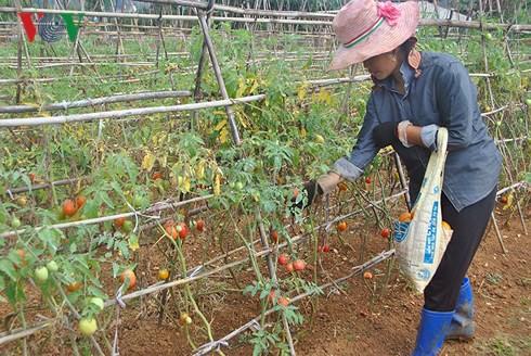 Công việc sản xuất, kinh doanh rau sạch hiệu quả, gia đình anh Tuyền đã tạo công ăn việc làm thường xuyên cho khoảng 7 - 10 lao động địa phương.